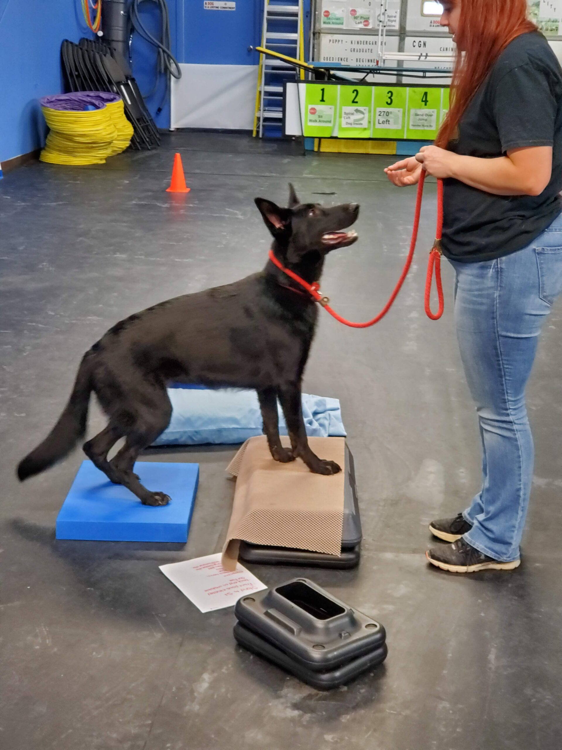 Dog exercising it's back legs to build strength
