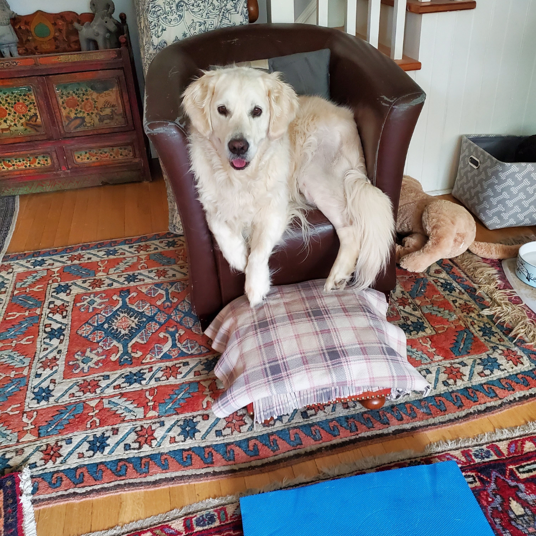 Tessa Taking a break from her TPLO exercises