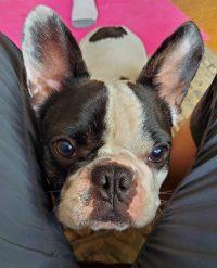 Dog with traumatic menenigitis.