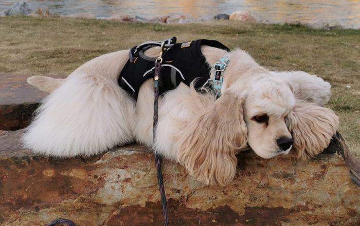Senior Dog taking a Rest